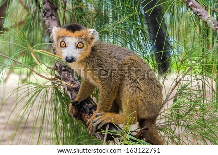 Crowned lemur (Eulemur Coronatus), endemic lemur from northern Madagascar - stock photo