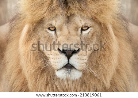 Crowned lion king - stock photo
