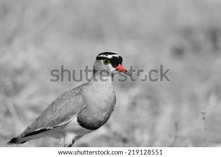Crowned Plover - African Wild Bird Background - Selective Coloring on Black and White - stock photo