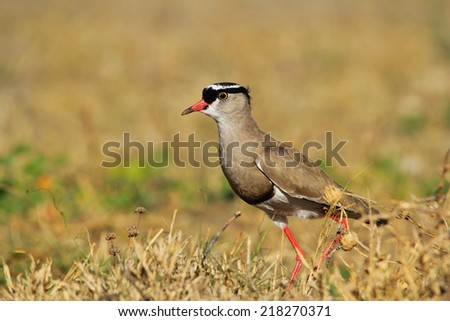 Crowned Plover - African Wild Bird Background - Talking Beauty from Nature - stock photo