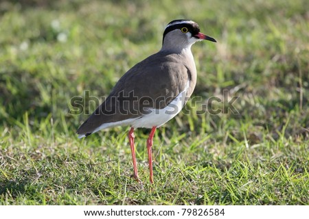 Crowned Plover bird with thin red legs standing on grass - stock photo