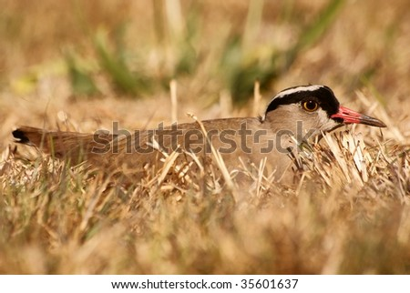 Crowned Plover on nest. - stock photo