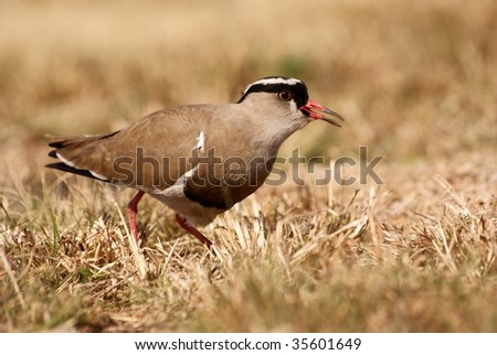 Crowned Plover on the alert. - stock photo