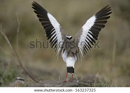 Crowned plover, Vanellus coronatus, single bird on floor with wings up, Tanzania - stock photo