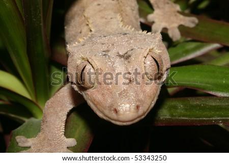 Crowns Gecko (Rhacodactylus ciliatus) on a plant - Portrait - stock photo
