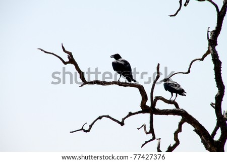 Crows on dead tree - stock photo
