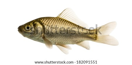 Crucian carp swimming, Carassius carassius, isolated on white - stock photo
