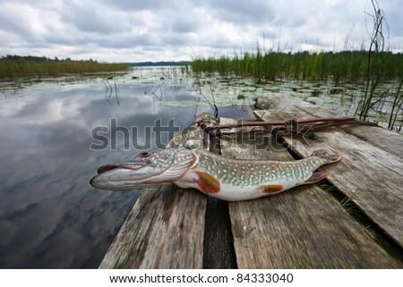 Crude, fresh fish (pike) - stock photo