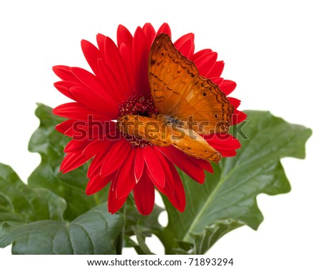 Cruiser Butterfly (Vindula Erota) on Red Gerbera Daisy