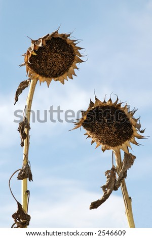Crumpled Sunflowers like a man and a woman meeting together - stock photo