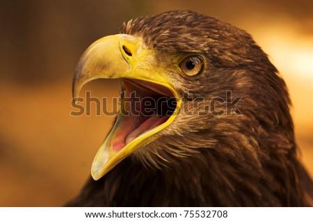 crying eagle - stock photo