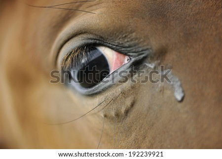 Crying horse closeup with the tear - stock photo