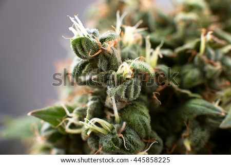 crystals and medical cannabis  closeup,  Medical marijuana plant