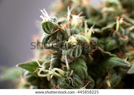 crystals and medical cannabis  closeup,  Medical marijuana plant - stock photo