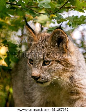 cub canadian lynx portrait - stock photo
