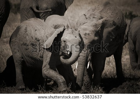 cub elephant playing in the masai mara reverse in kenya africa - stock photo