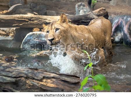 cub lion - stock photo