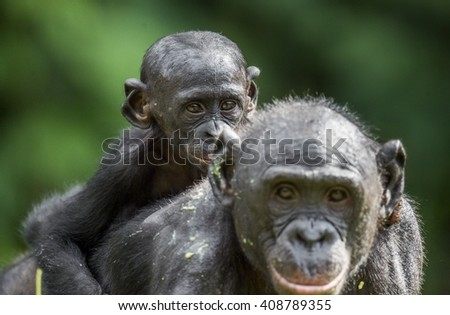 Cub of a Bonobo on a back at Mother  in natural habitat. Green natural background.  The Bonobo ( Pan paniscus), earlier being called  the pygmy chimpanzee. Democratic Republic of Congo. Africa       - stock photo