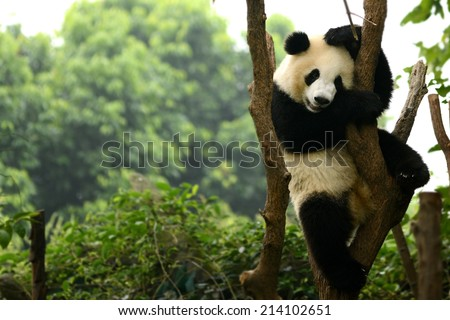 Cub of Giant panda bear playing on tree Chengdu, China  - stock photo
