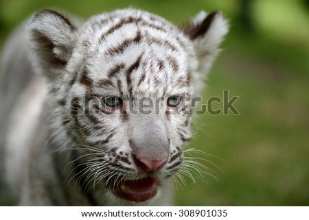 Cub of White Tiger face focus to head and eye  - stock photo