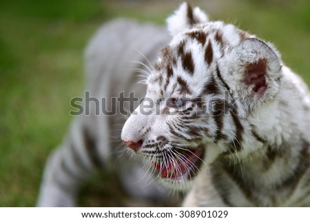 Cub of White Tiger on field focus to head and eye - stock photo