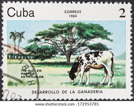 CUBA - CIRCA 1984: A postage stamp printed in the Cuba shows development of livestock on Cuba - Calf grazing on artificial pasture, circa 1984 - stock photo
