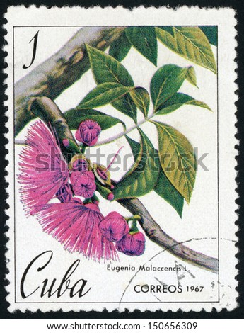 CUBA - CIRCA 1967: stamp printed in Cuba shows image of Eugenia malaccencis (malaccensis; malay apple)  circa 1967 - stock photo