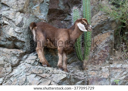 Cuba, Mountain goat - stock photo
