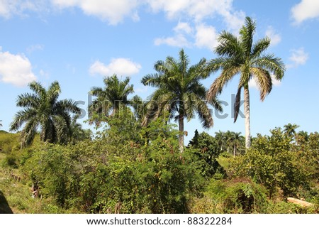 Cuba nature, royal palm grove. Jungle and palm tree.