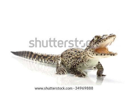 Cuban crocodile (Crocodylus rhombifer) isolated on white background. - stock photo