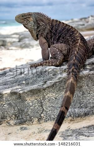 Cuban Iguana, Cayo Largo/Cuba - stock photo