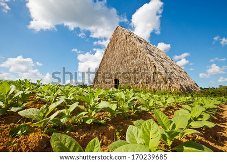 Cuban tobacco aging barn with tobacco plantation at the front