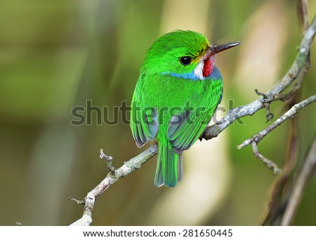Cuban Tody, Todus multicolor, an endemic species of Cuba - stock photo