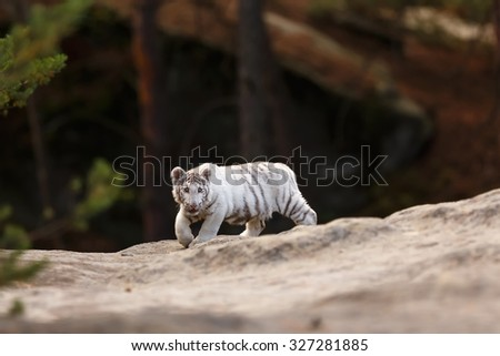 cube white tiger - stock photo