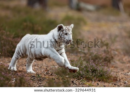 cube white tiger is jumping and runs - stock photo