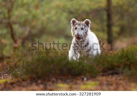 cube white tiger is plying in the wood - stock photo