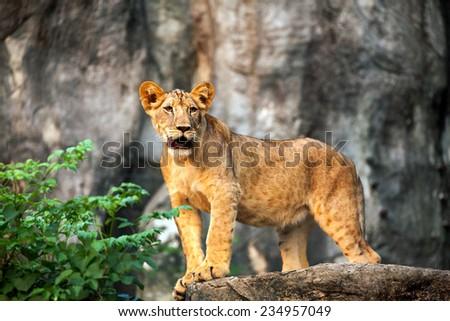 cubs lion - stock photo