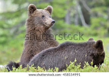 Cubs of Brown bear (Ursus Arctos) in the summer forest. Natural green Background - stock photo