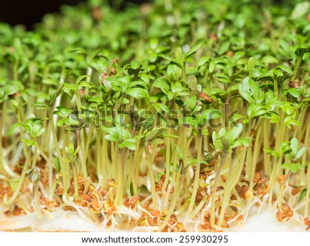 Cuckooflower (Cardamine pratensis) sprouts planted on on white swabs. - stock photo