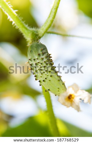 cucumber comes on a branch - stock photo