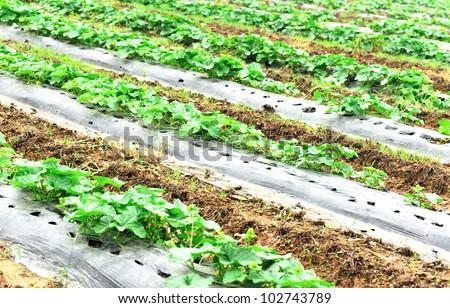 cucumber field - stock photo