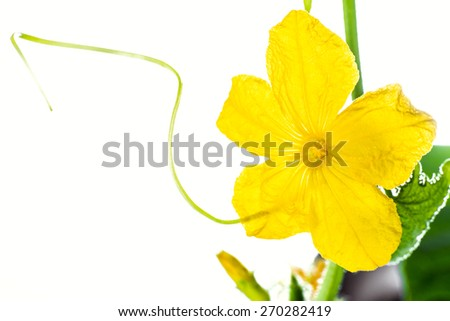 cucumber flower close-up on a white background in a greenhouse, organic farming and pollination - stock photo