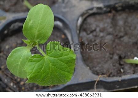 Cucumber. Green shoots. Seedling. Cucumis sativus - stock photo