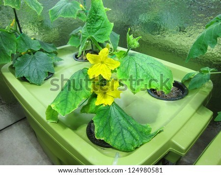 Cucumber hydroponic plants / hydroponics/ organic vegetable garden/ cultivation of plants in greenhouse - stock photo