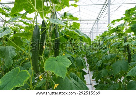 cucumber plants in a commercial greenhouse - stock photo
