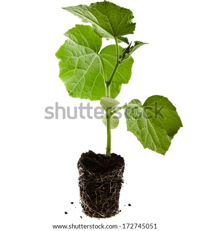cucumber seedling in a peat pot isolated on white background  - stock photo