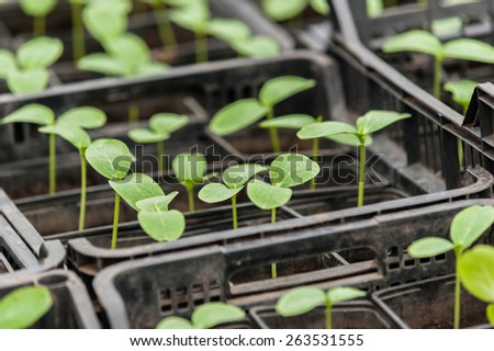 Cucumber seedling in a pot. Green fresh Vegetable sprouts in the pots.