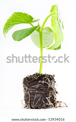 cucumber seedlings for greenhouses - stock photo