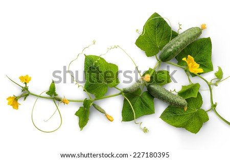 Cucumber - widely cultivated plant in gourd family Cucurbitaceae. Vine with fruits varying degrees of maturity, fading yellow flowers, lush foliage, curled tendrils. Closeup isolated on white backdrop - stock photo