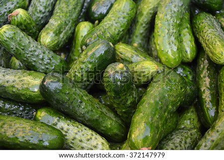 Cucumbers in summer. Organic cucumbers. Green pickles. Vegetables canning. Fresh wet pickle cucumbers ready for canning. Fresh cucumber. Real organic excellent cucumbers in countryside. - stock photo